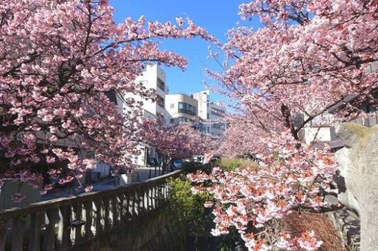 系川櫻花祭