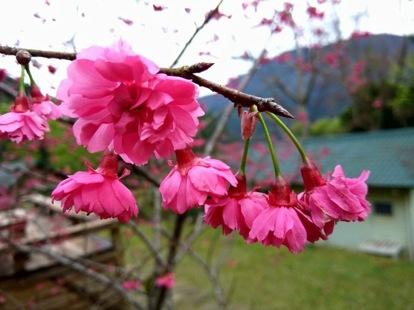 棲蘭度假區櫻花美景