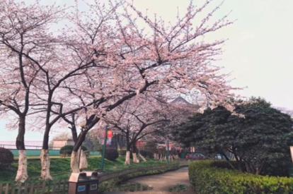 晴川酒店櫻花祭