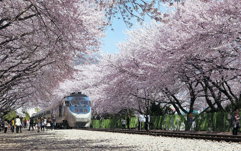 【細賞慶尚南道鎮海櫻花節】置身粉紅色的花海裡 | 首爾自由行套票3-31天