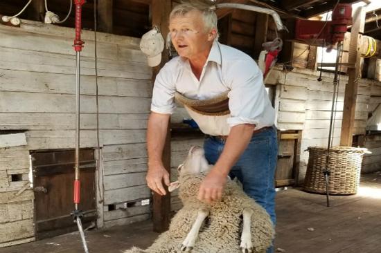 剪羊毛表演