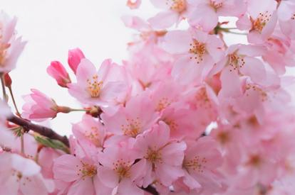 季節限定:3月1-20日出發團隊,增遊西山公園賞桃花。