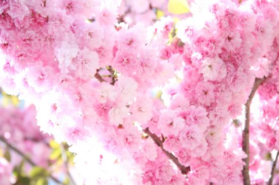 季節限定:3月15日-4月10日出發團隊,增遊南溪山公園賞櫻花。