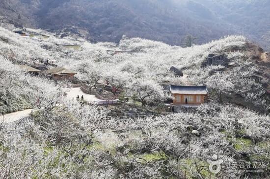 光陽梅花村(賞梅花)
