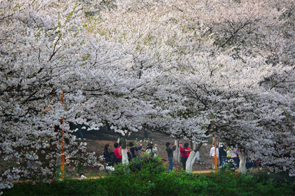 湖南省森林植物園 - 賞櫻花