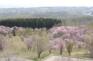 天都山櫻公園
