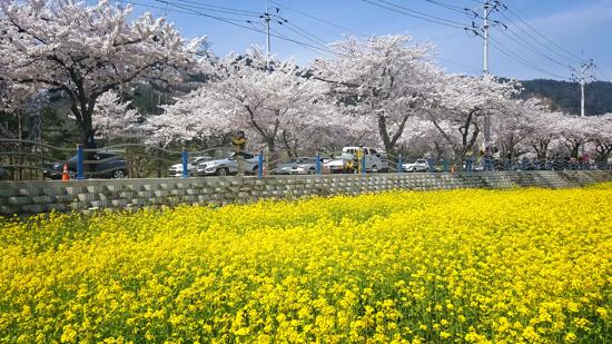 三陟‧孟芳里(賞櫻花/油菜花) (4月4日至5月5日出發團隊適用)
