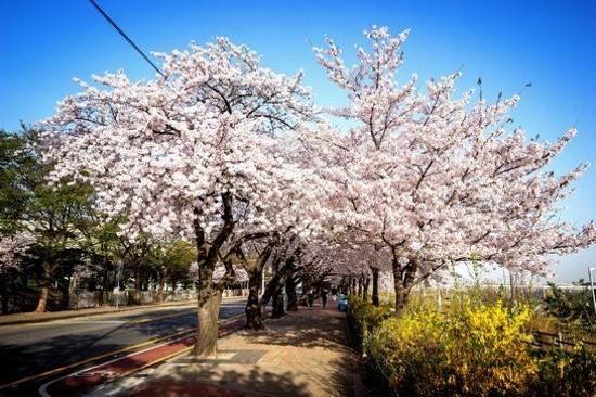 首爾‧汝矣島輪中路(賞櫻花) (4月1日至16日出發團隊適用)
