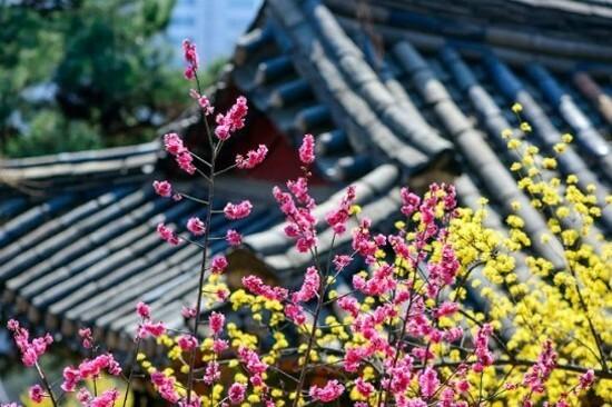 首爾‧奉恩寺(賞梅花/山茱萸) (3月10日至31日出發團隊適用)
