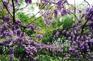 南潯古鎮-紫藤花