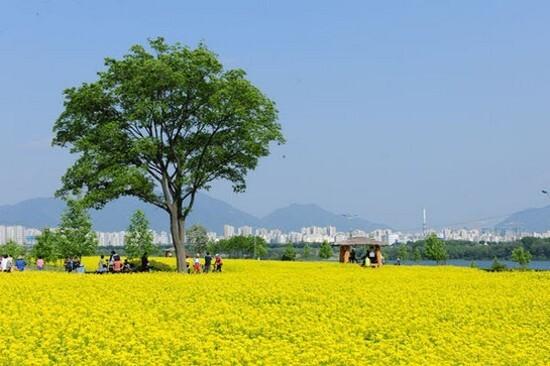 京畿道.九里漢江公園(賞油菜花)