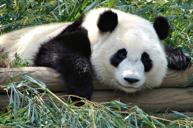 親親國寶~大熊貓繁殖研究基地