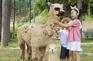 洪川Alpaca World草泥馬公園