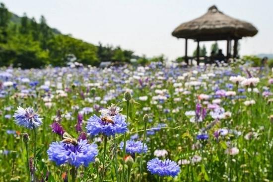 《增遊》仁川大公園(賞矢車菊)