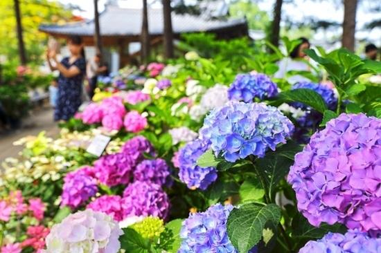 《增遊》晨靜樹木園(賞繡球花)