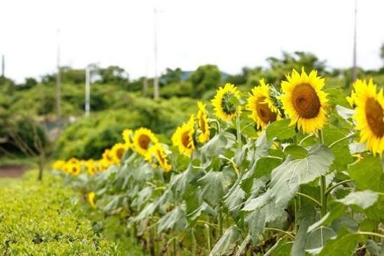 《增遊》金京淑農場(賞太陽花註1)(7月1日至8月31日出發團隊適用)