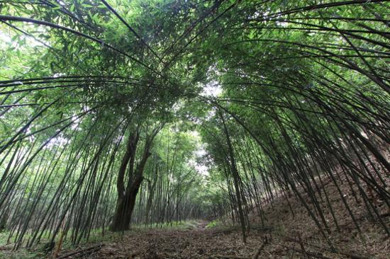 金佛山國家森林公園-方竹林海