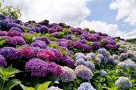 千畝繡球花海~南國山花花卉莊園