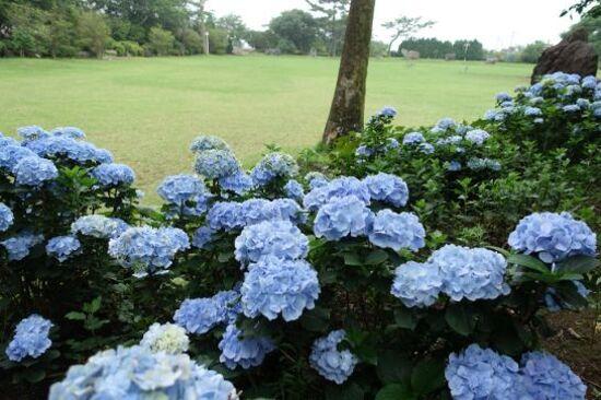 《增遊》CamelliaHill山茶花之丘(賞繡球花)(6月21日至7月20日出發團隊適用)