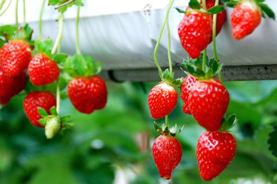 金馬崙草莓園