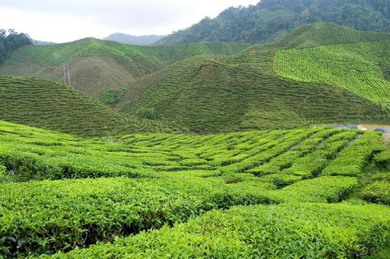 金馬崙高原茶園