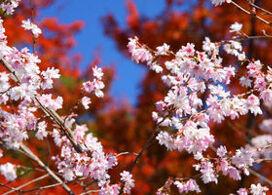 【香嵐溪賞紅葉+小原四季櫻一天團】名古屋自由行套票5-31天