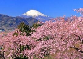 【欣賞初櫻+富士山玩雪+任摘任食草莓一天團】東京自由行套票3-31天