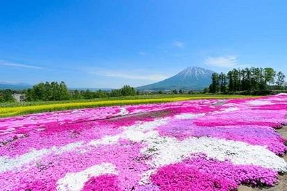 北海道 花の美景5天之旅《出發日期: 4月26日至8月31日》