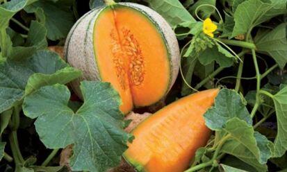 【法國直送🍈】法國哈蜜瓜 Bénac Charentais Melon (800~900g/個)