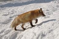 北見狐狸村